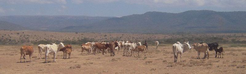 Herd of cattle in the desert